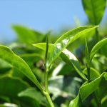 GREEN TEA EXTRACT DECAFFEINATE